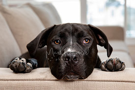 Close up Photo of Black Pit Bull Mix with head and paws on sofa arm