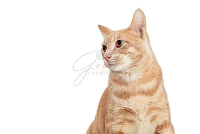 Closeup Buff Tabby Cat Looking Side
