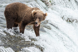 Brown Bear on Brooks Falls, Alaska, USA