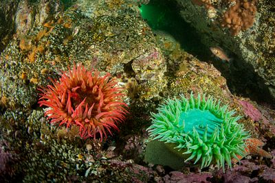 White Spotted Anemone  and Giant Green Anemone on the rugged underwater terrain around Solander Island on the west coast of V...