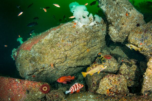 Six different rockfish species in single image from a seamount out from Quatsino Sound, Vancouver Island. Included in this sc...