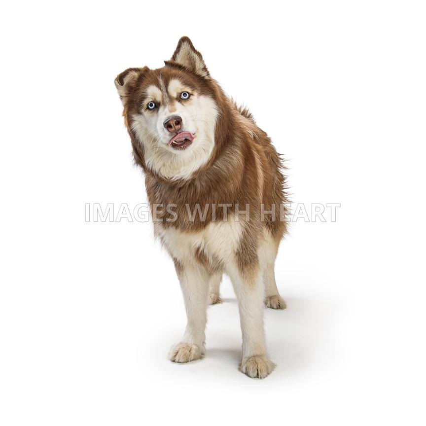 Alaskan Malamute Dog Sticking Tongue Out