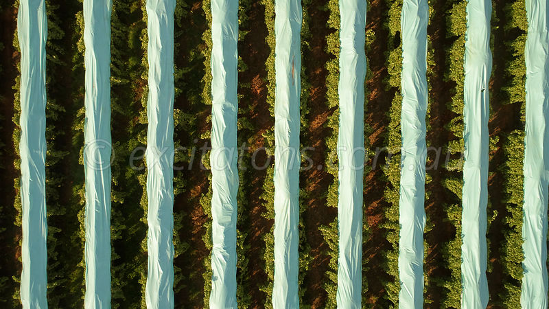 Looking down on table grape vineyard, Mildura, Australia.