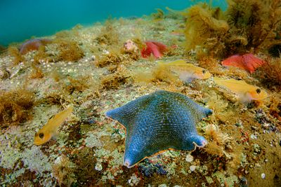 Blue Bat Star with Black Eye Gobies.