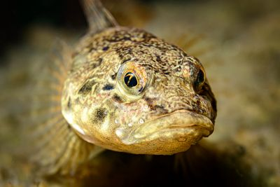 Closeup portrait of a Prickly Sculpin, Cottus asper.