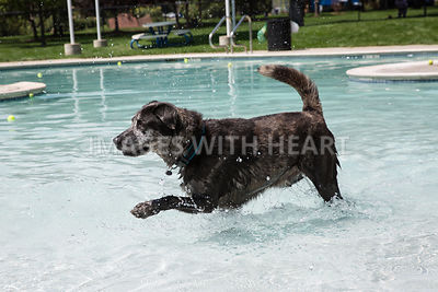 Black_Dog_Romping_in_Swimming_Pool_Splashing