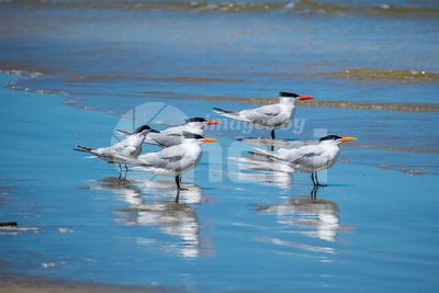 Group of Royal Tern Birds in Padre Island NS, Texas