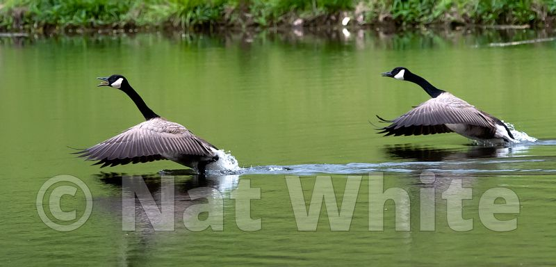 Goose_wings_May_04_2021_NAW1652NAT_WHITE