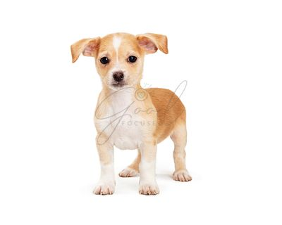 Cute mixed breed small white and brown dog isolated