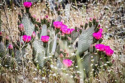 A pink flowering cactus plants in Palm Spring, California