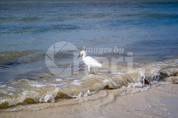 A Snowy White Egret in Fort Myers, Florida