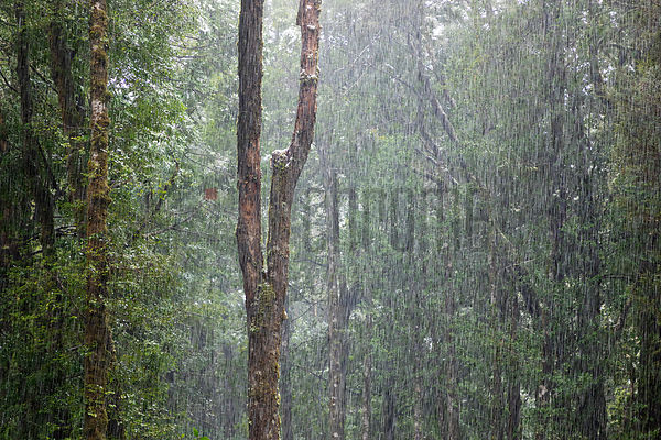 Snow Falling in Rainforest Woodland