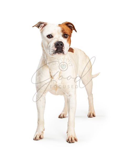 Pit Bull Dog Standing Over White