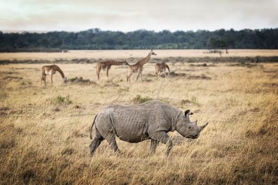 Critically Endangered Black Rhino and Giraffe in Kenya
