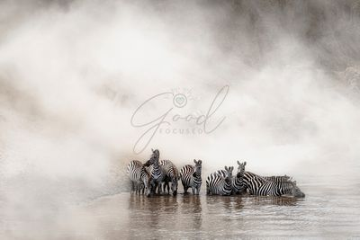 Zebra Drinking in the Mara