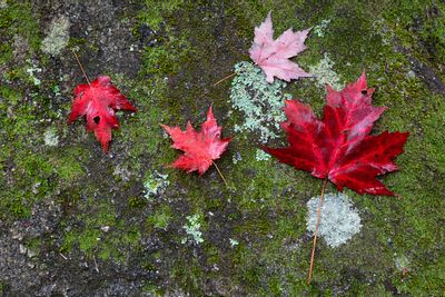 Maples, Moss & Lichen