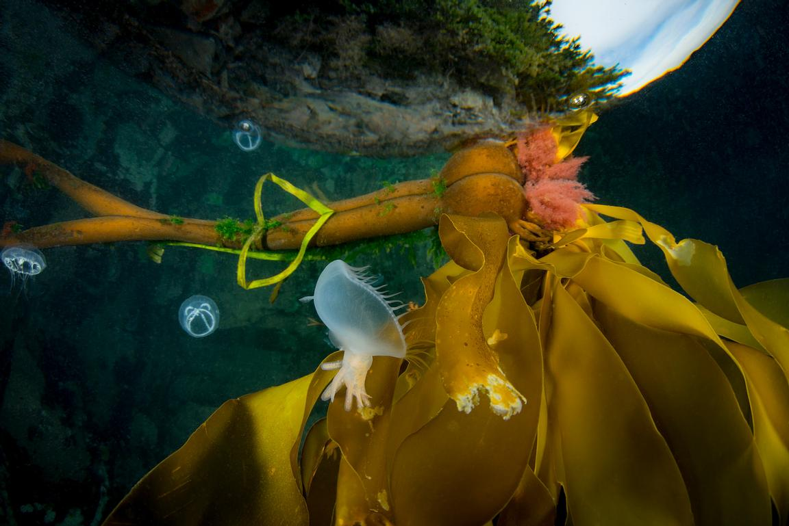 Bull Kelp, Nereocystis luetkeana, floating on the surface in Browning Pass, with small jellies and a Hooded Nudibranch