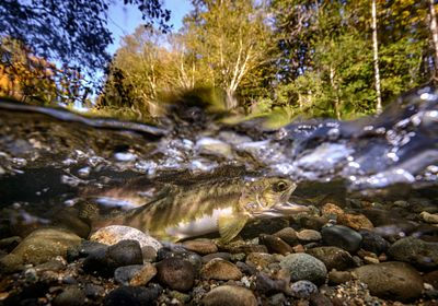 Pink Salmon Spawning sequence 3-02