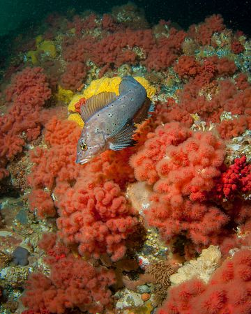 Male Kelp Greenling swimming over magnificent Sea Strawberry soft corals in Browning Pass