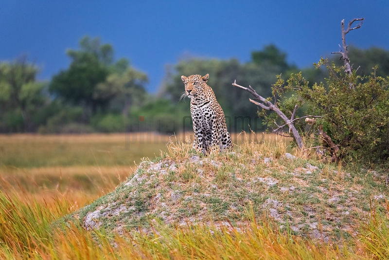 Portrait of a Leopard Watching Prey