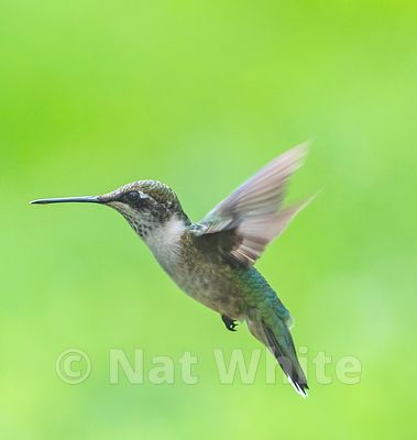 Hummingbird_in_Flight_Date_(Month_DD_YYYY)1_1000_sec_at_f_7.1_NAT_WHITE