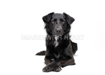 Black fluffy dog lying down and posing