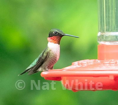 Ruby_Throated_Hummingbird-5433_May_10_2019_NAT_WHITE