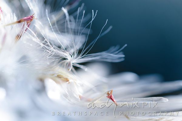 Wall Art Decor Photo Print: Cape Snow Seed Dance III
