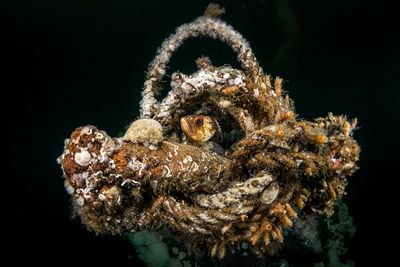 Quillback Rockfish, Sebastes maliger, nestled in rigging on the wreck of the Capilano between Lund and Campbell River.