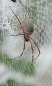 Golden Orb Weaver with Dew