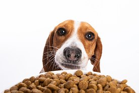 Studio close-up of Smiling Beagle Staring Over Dogfood Bowl