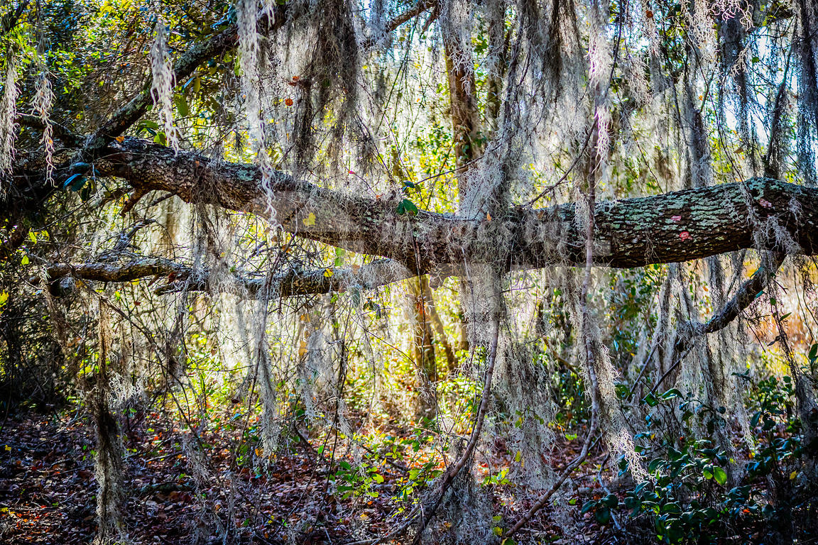 A very old tree with long branches attach to it in Orlando, Florida