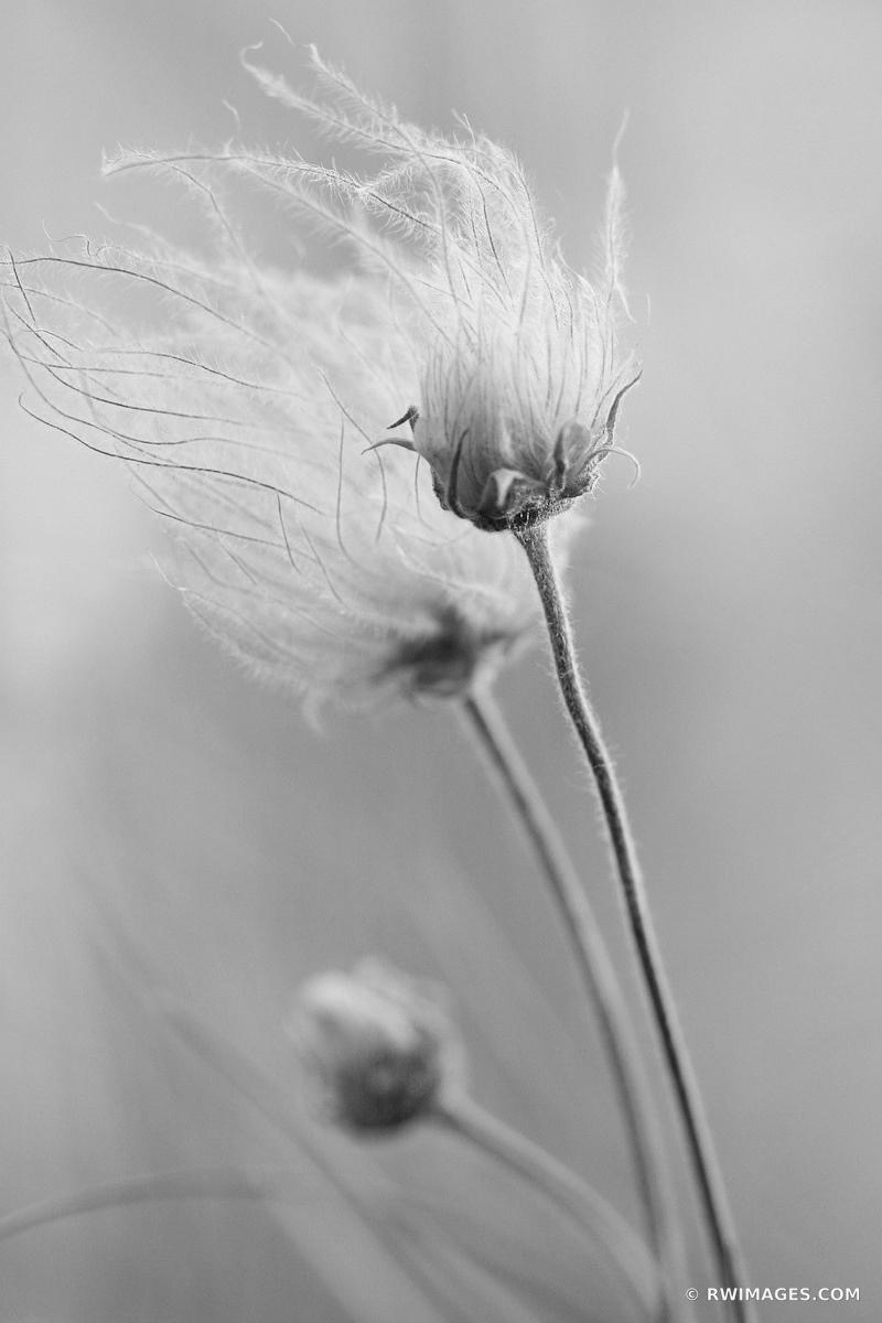 PRAIRIE SMOKE GEUM TRIFLORUM ILLINOIS PRAIRIE SUMMER WILDFLOWERS BLACK AND WHITE VERTICAL