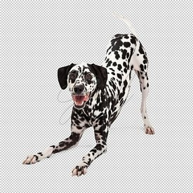 Playful Dalmatian Dog Bowing