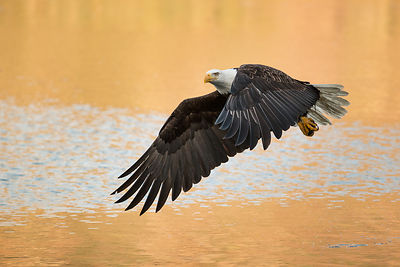Bald Eeagle and Golden Water I