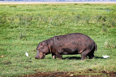 Hippo Grazing on Grass in Amboseli