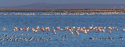Flamingoes in Amboseli Lake Kenya