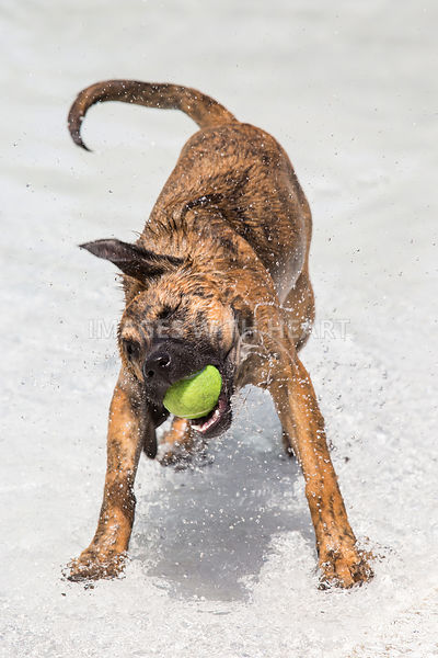 Dog_Shaking_Off_Water_In_Pool_With_Ball