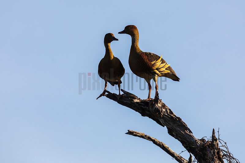 Plumed Whistling Ducks on a Dead Tree