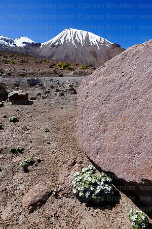 Alpine flowers and Nevados de Putre / Taapaca volcano, Lauca National Park, Region XV, Chile