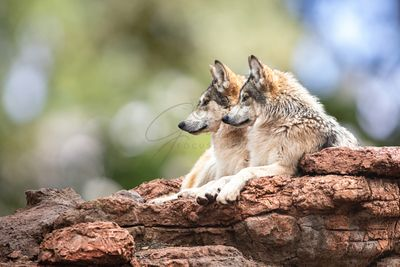 Two Mexican Gray Wolves Looking to Side