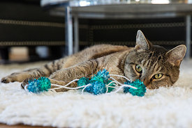 Tabby Cat Lying on Side Behind Blue String Toy