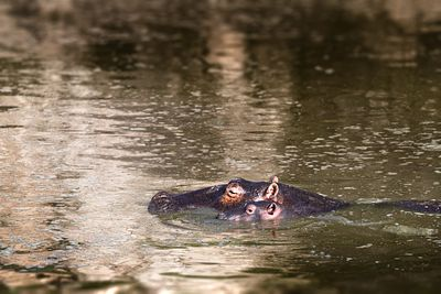 Mother and Baby Hippo Swimming Together