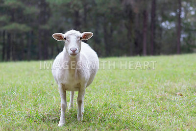 Sheep standing in green field