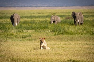 Lioness in Kenya with Elephants in Background
