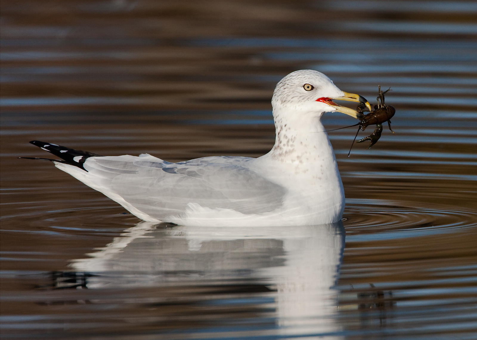 Gull with Crayfish