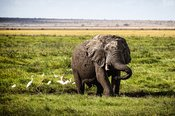 Muddy Elephant Playing in Amboseli Kenya Africa