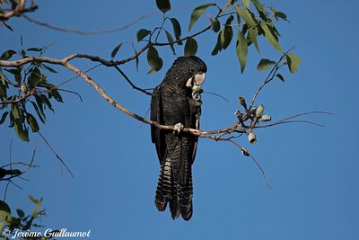 Jour 65 : Red-tailed Black-Cockatoo, Darwin, Australia
