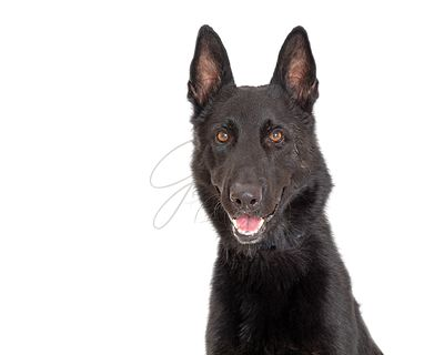 Black Shepherd Dog With Happy Expression Closeup