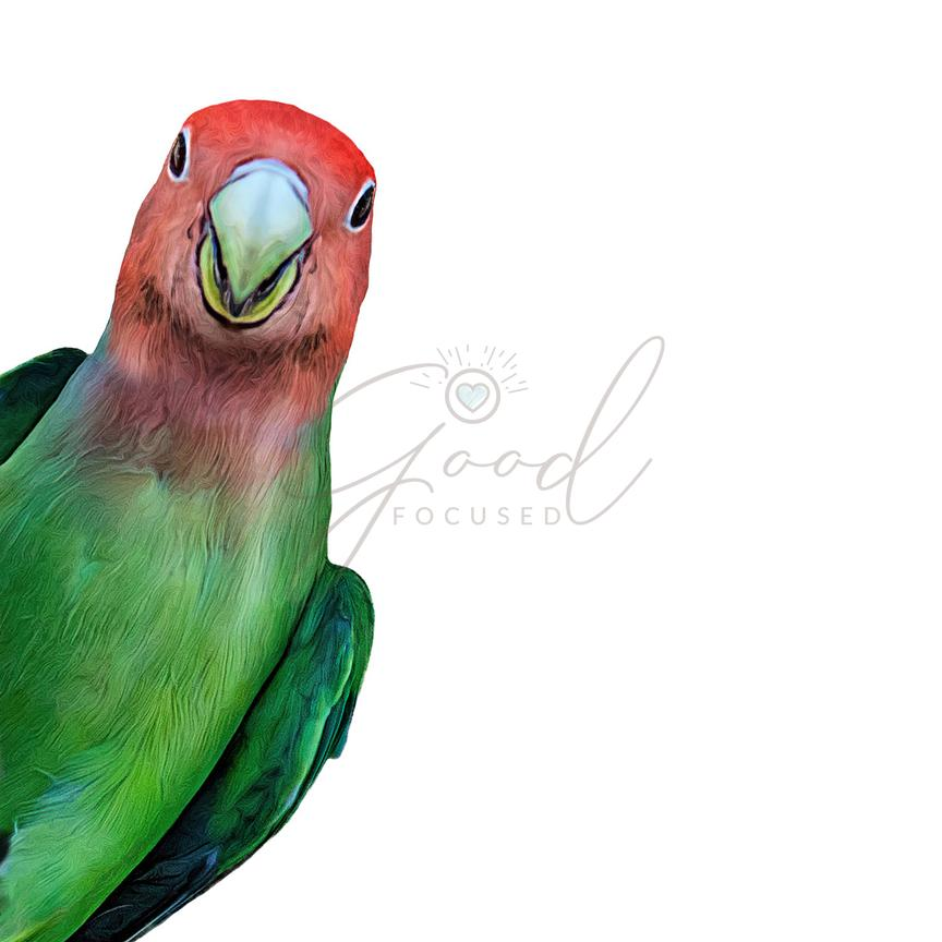 Tropical Rosy-Faced Lovebird Closeup Illustration